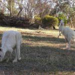 白いカンガルーとコアラが抱ける Gorge Wildlife Park