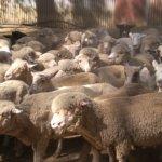 Goulburnの巨大な羊