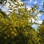 オーストラリアの国花 ワトルの花