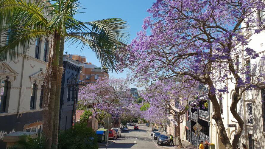 オーストラリアの春を告げる花ジャカランダの楽しみ方ガイド