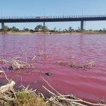 期間限定でピンク色に染まるウエストゲートパークの湖
