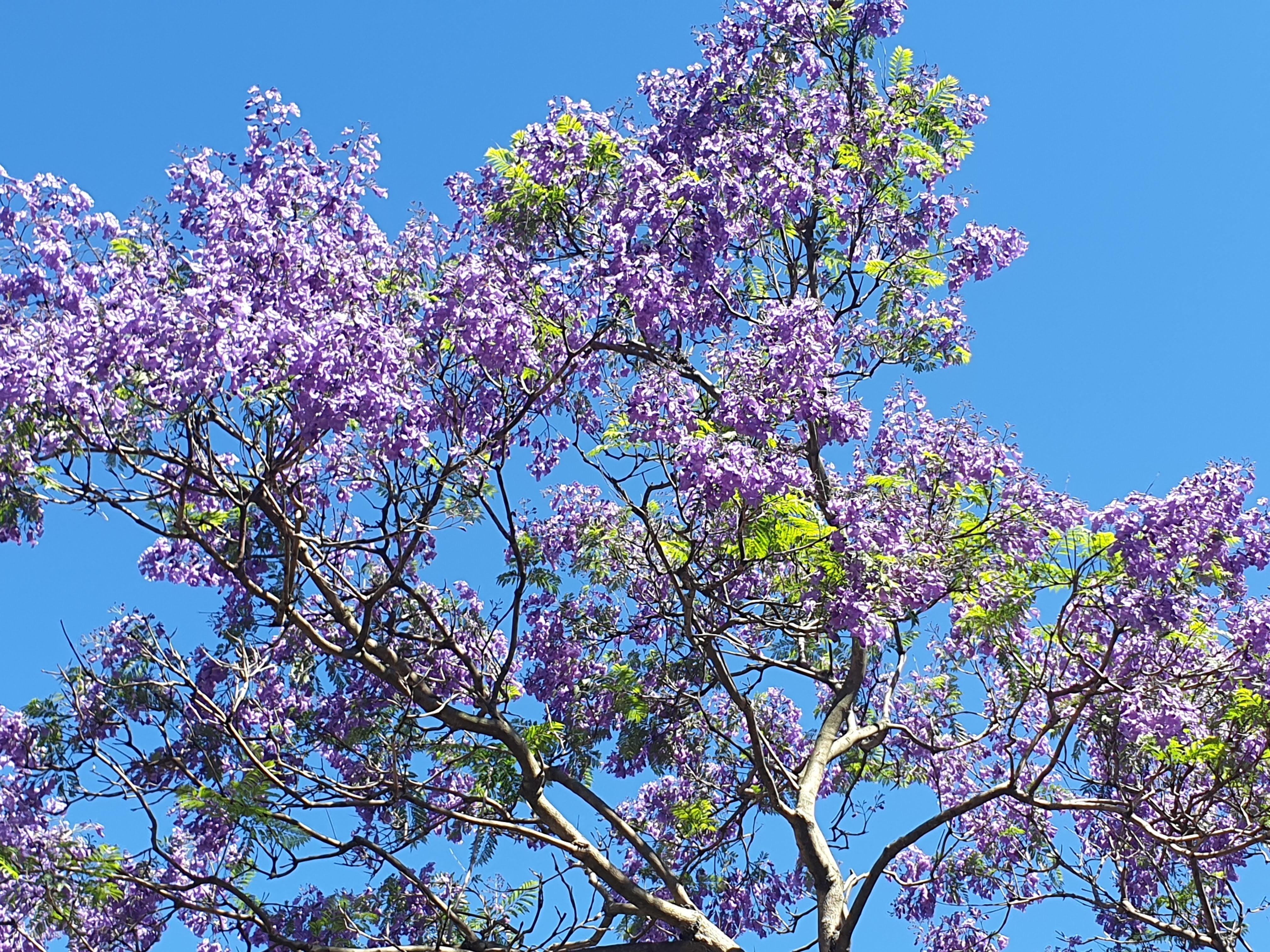 シドニーのジャカランダがきれいに見えるスポットをリストアップ