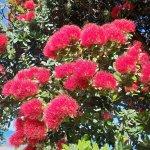 """クリスマスの木 """"ポフツカワ"""" はオーストラリアでも咲いていた?"""