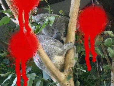 危険!コアラにそっくりな未確認生物ドロップベア‼︎