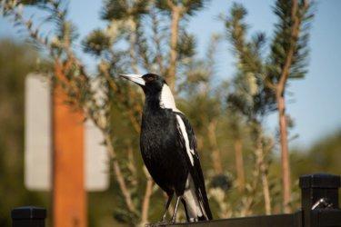春になったら注意したいマグパイという鳥の攻撃の回避方法と対策